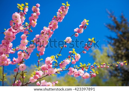 Spring garden with blooming cherry branches, petals and green leaves - stock photo