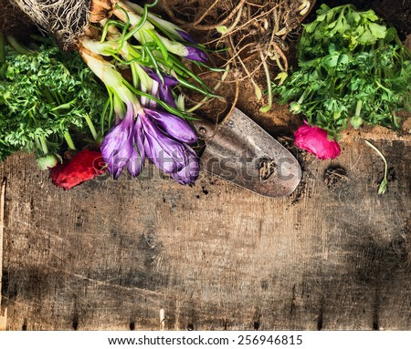 Spring gardening background with  crocus, buttercups, scoop on rustic wooden table, top view - stock photo