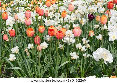 Spring Gardening with Multicolored Tulips in Bloom - stock photo