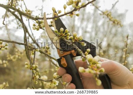 Spring gardening, work at the garden, pruning fruit trees. - stock photo
