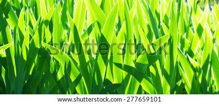 spring grass of gladiolus - stock photo