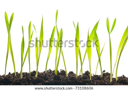 spring grass plants is growing out of ground, isolated on white background - stock photo