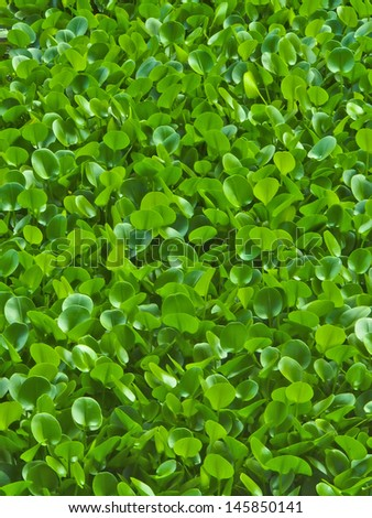 Spring green, fresh and vitality, water hyacinth - stock photo
