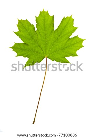 spring green maple leaf on a white background