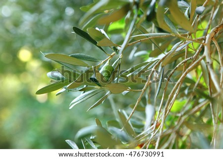 spring green olive wood tree with olives as background