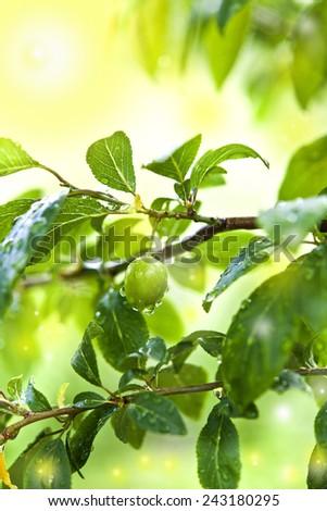 spring green plum rainy garden spring symbol - stock photo