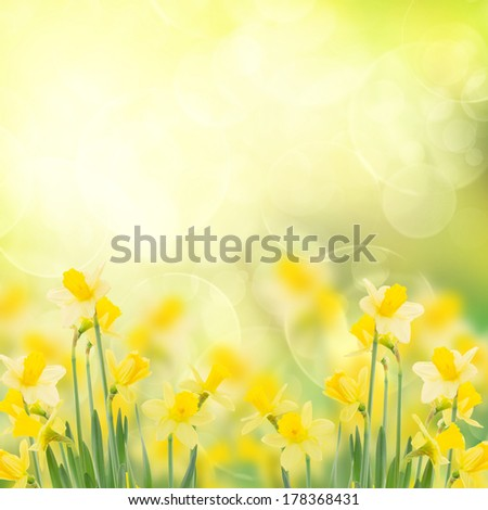 spring growing daffodils in garden  isolated on white background - stock photo