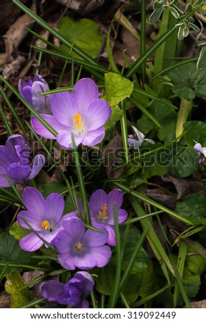 Spring has arrived as the crocus flowers have burst through the ground. Their bright purple and yellow stamen is very lovely against the green grass. - stock photo