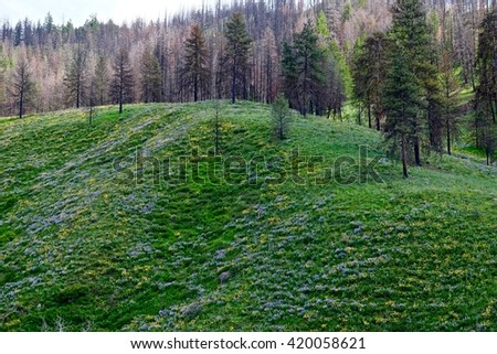 Spring Hills Covered with Blue and Yellow Wild Flowers and Bare Trees.  North Cascades National Park, Pipestone Canyon, Winthrop, Washington State, USA.  - stock photo
