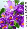 Spring holiday crocus flowers background ( macro) - stock photo