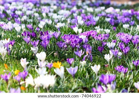 Spring holiday crocus flowers background ( macro) - stock photo