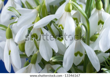 Spring holiday snowdrop flowers background