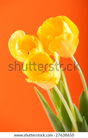 Spring holiday tulip flowers