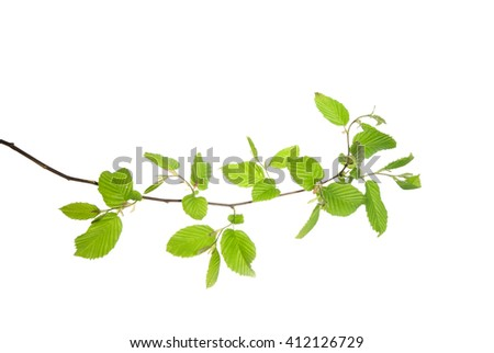 Spring hornbeam twig with young leaves isolated on white  