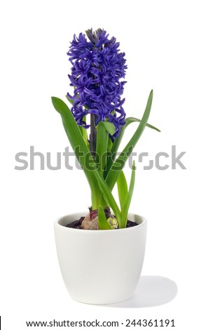 spring hyacinth in pot isolated over white background - stock photo