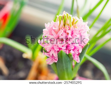 spring hyacinth on the window sill . small depth of field - stock photo