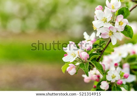 Spring in an orchard,beautiful blooming apple trees in spring park, cherry orchard, apple branch in bloom