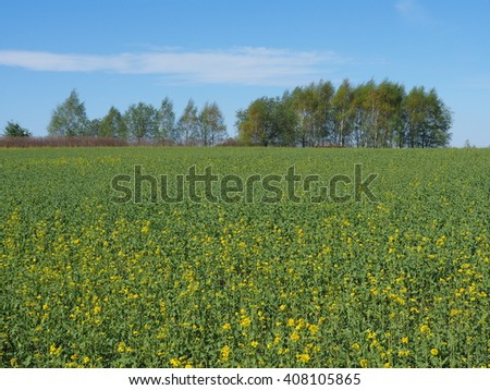 Spring in countryside. Filed of young rapeseed. Fresh green.
