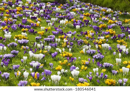 Spring in Holland: Dutch crocus in bloom - stock photo