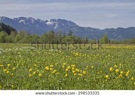 Spring in Isarwinkel - flower meadow with Benediktenwand Mountains - stock photo