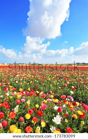 Spring in Israel. Fields of buttercups blooming garden with colorful and picturesque a huge cloud over the field