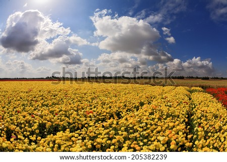 Spring in Israel. Picturesque field of bright yellow buttercups - ranunculus. - stock photo