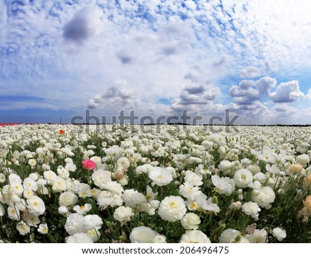 Spring in Israel. Picturesque field of large beautiful white buttercups ranunculus.  - stock photo