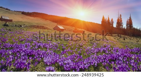 Spring, in March, April, May and mountainous areas in the Carpathians, Tatras and the Alps are covered by a carpet of beautiful flowers crocus, crocuses. Delicate stalk and bell that stretches to sun. - stock photo