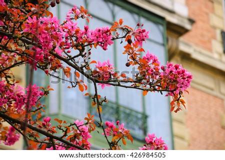 Spring in Paris. Blossoming Sakura tree and typical Parisian building.  - stock photo