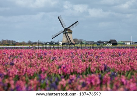 Spring in the Netherlands, tulip field and windmill - stock photo