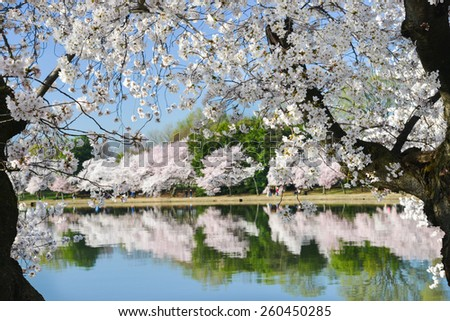 Spring in Washington DC - Cherry Blossom Festival at Tidal Basin - stock photo
