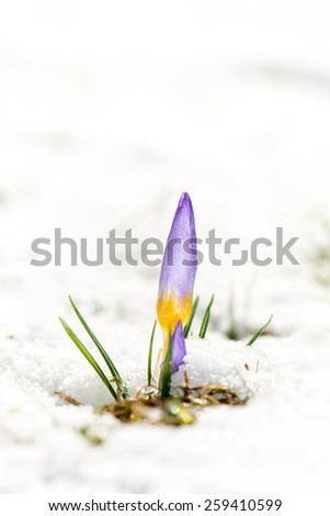 Spring is arriving - first crocus flowers in the snow - stock photo