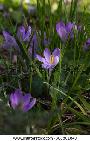 Spring is arriving when the crocus flowers burst through the ground. A lovely photo to depict spring's arrival or anything related to gardening. Great for a greeting card, poster, or other ideas. - stock photo