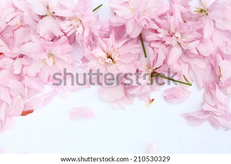 Spring Japanese cherry blossom beautiful spring background - stock photo