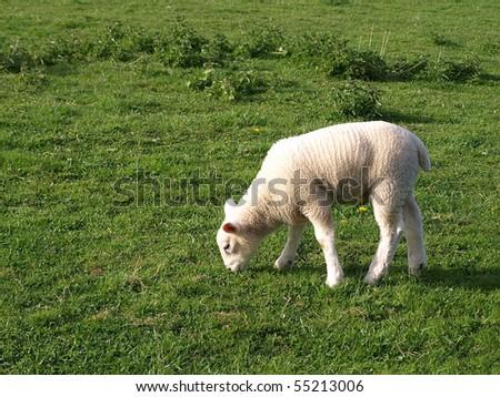 Spring Lamb - stock photo