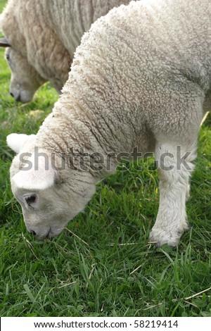 Spring Lamb Grazing - stock photo