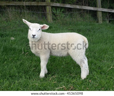 Spring Lamb in a Green Meadow - stock photo