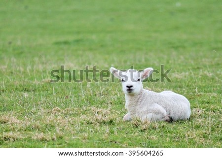 Spring lamb in field copy space - stock photo