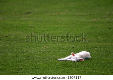 spring lamb lying in field - stock photo