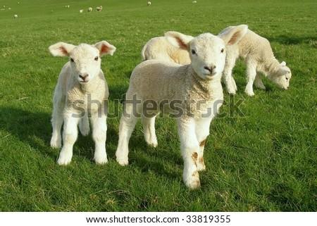 Spring Lambs - stock photo
