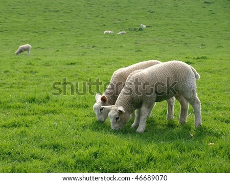 Spring Lambs Grazing in a Green Meadow - stock photo