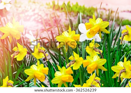 Spring landscape. beautiful spring flowers daffodils. yellow flowers. - stock photo