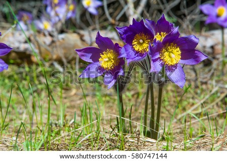 Spring landscape flowers growing wild spring stock photo royalty spring landscape flowers growing in the wild spring flower pulsatilla common names include mightylinksfo