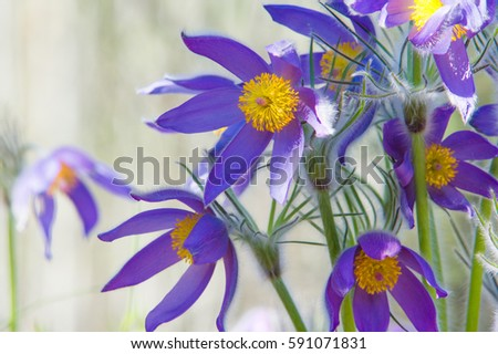 Spring landscape flowers growing wild spring stock photo 591071831 spring landscape flowers growing in the wild spring flower pulsatilla common names include mightylinksfo