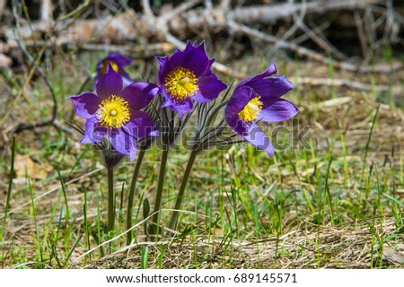 Spring landscape flowers growing wild spring stock photo royalty spring landscape flowers growing in the wild spring flower pulsatilla common names include mightylinksfo Images