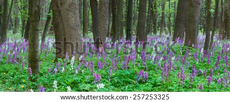 Spring landscape. Flowers in the forest. Blooming primrose. - stock photo