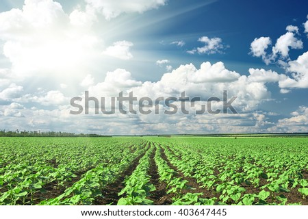 spring landscape, green field with vegetable seedling bush and blue cloudy sky - stock photo