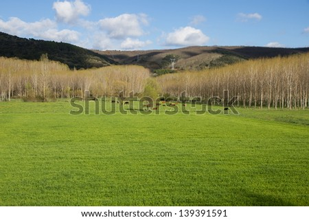 Spring landscape green fields and meadows with grazing cows and poplar grove. With oak hill background - stock photo