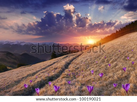 Spring landscape in the mountains with field of blossom crocuses. Sunset - stock photo