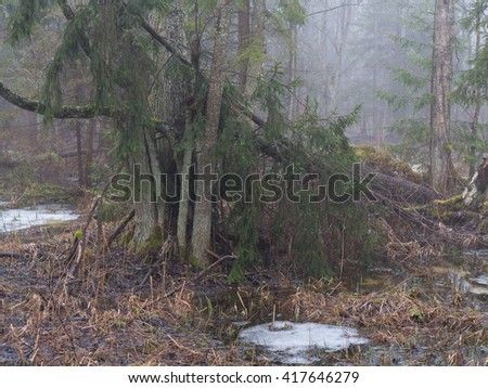 Spring landscape of old forest and broken trees lying in water, Bialowieza Foest, Poland, Europe - stock photo